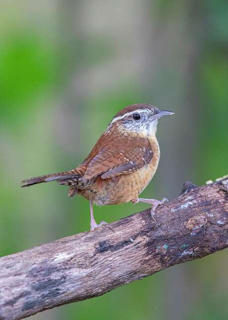 """As birds, like this Carolina wren, go through feather molt they are more quiet and remain incognito. By October or November we will see them in """"winter plumage."""""""
