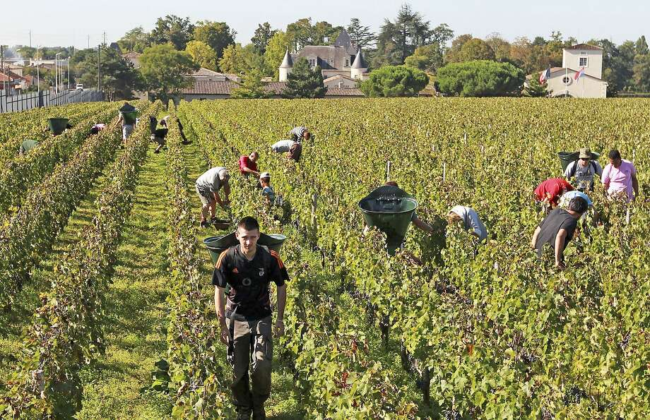 Workers collect red grapes during the harvest season near Bordeaux. President Emmanuel Macron's government is planning to create buffer zones because of toxins sprayed on crops. Photo: Bob Edme / Associated Press 2013