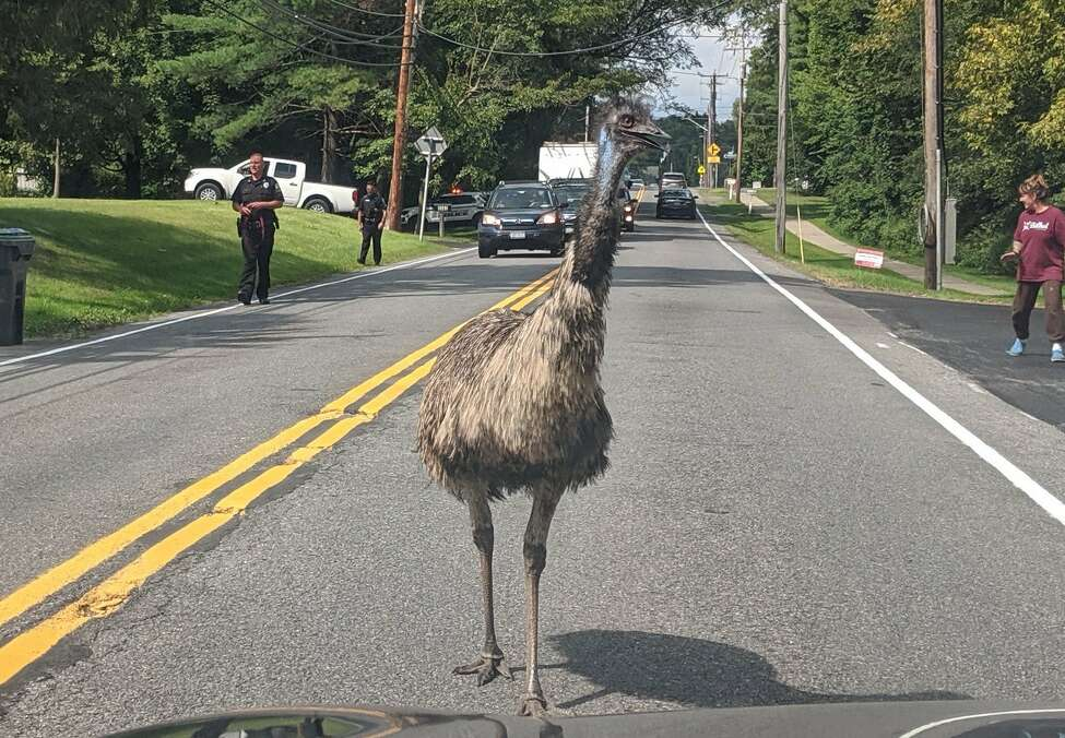 An emu was briefly loose on Carman Road in Guilderland Wednesday, Sept. 11, 2019. It had escaped from its owner, but was quickly reunited.