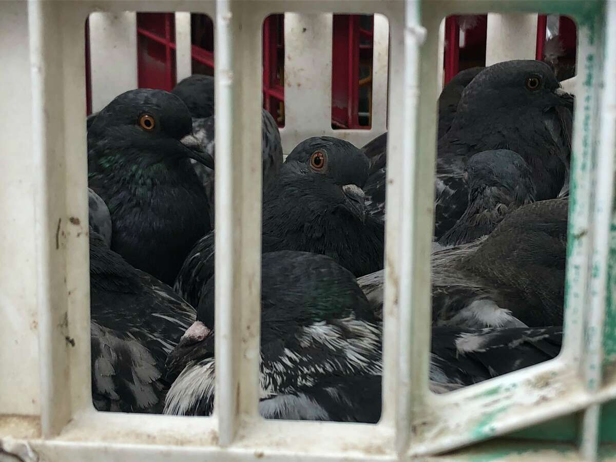 """""""Hundreds of pigeons discovered in crates. 400 blk. Fannin. Someone used large nets to capture them downtown. Animal Cruelty investigators on scene."""""""