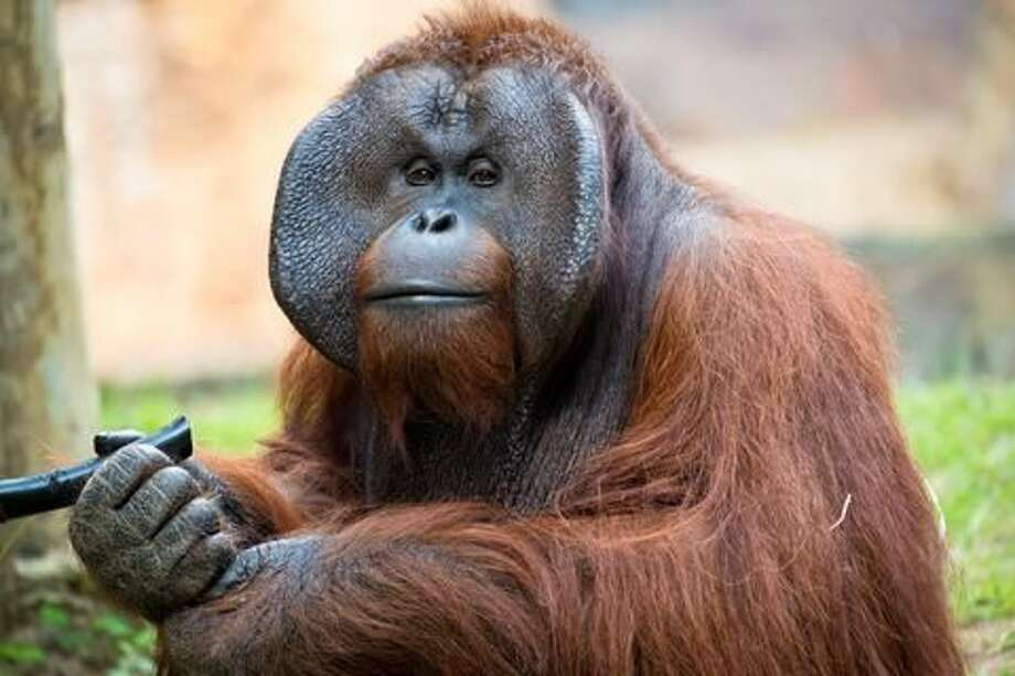"""We are mourning the death of 34-year-old, Bornean orangutan Pumpkin. This morning, he passed away due to heart failure."" Photo: Houston Zoo"