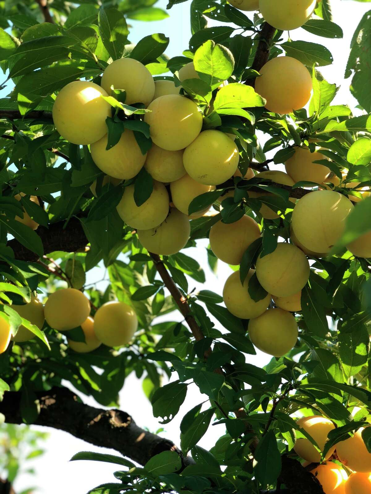 This August 2018 photo shows yellow plums in Bedford, N.Y. In the last warm weeks of summer, it's hard to imagine that all of today's tomatoes and corn and peaches will be but memories in just a couple of months. With a bit of forethought, and a bit of time, we can safeguard some of this magnificent produce and draw upon it all winter long. When you preserve food, you are using techniques to stop its natural decomposition, killing or preventing the growth of microbes. (Katie Workman via AP)