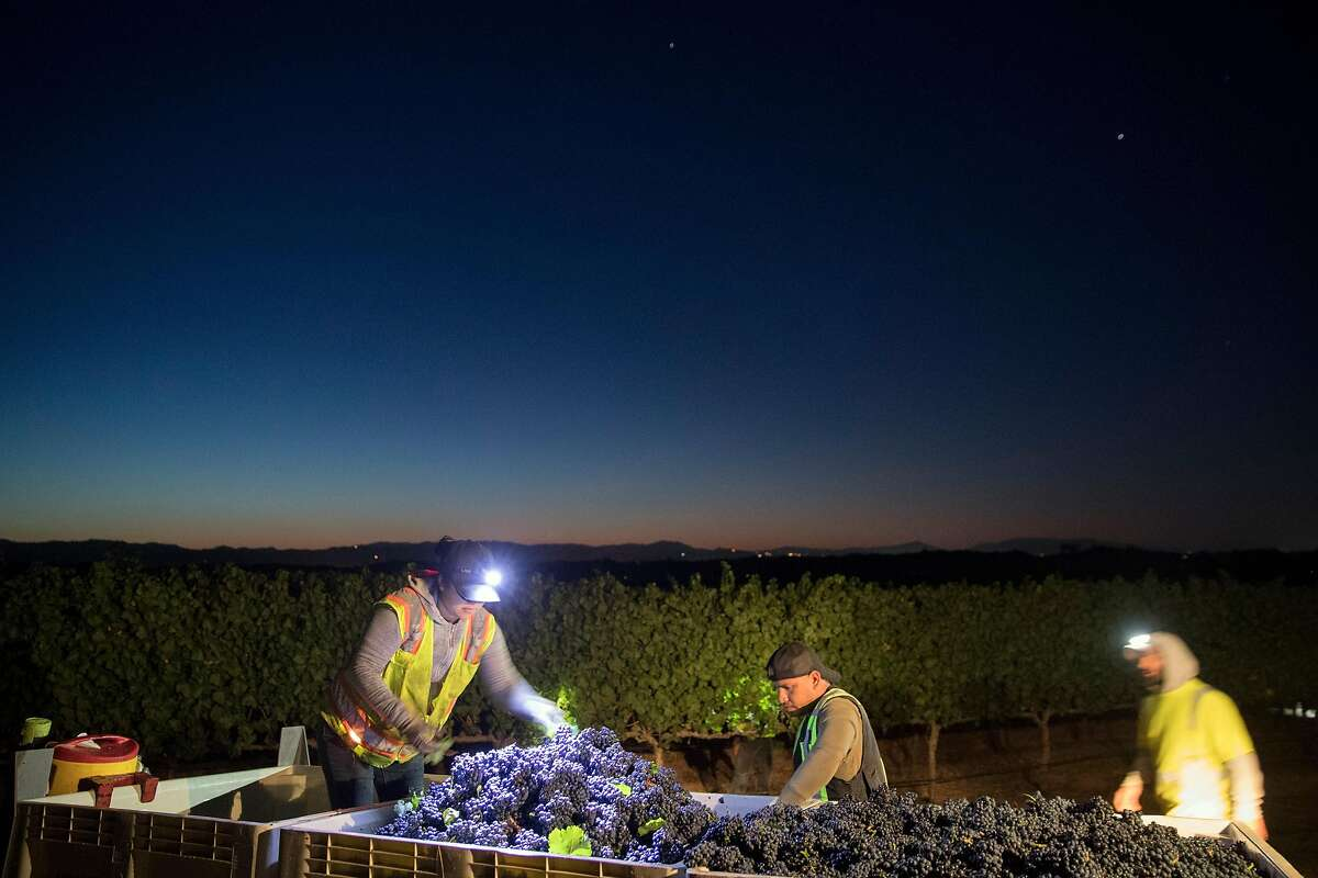 """Harvest workers dump bins of fruit into larger containers through dawn during the grape harvest at Bucher Vineyards in Healdsburg, Calif., on Tuesday, September 10, 2019. Sonoma County is trying to get 100% of the county's vineyards """"certified sustainable."""" Bucher Vineyard was one of the most recent vineyards to get the certification. John Bucher, the owner, also has a certified organic dairy farm on the same property as his vineyard."""