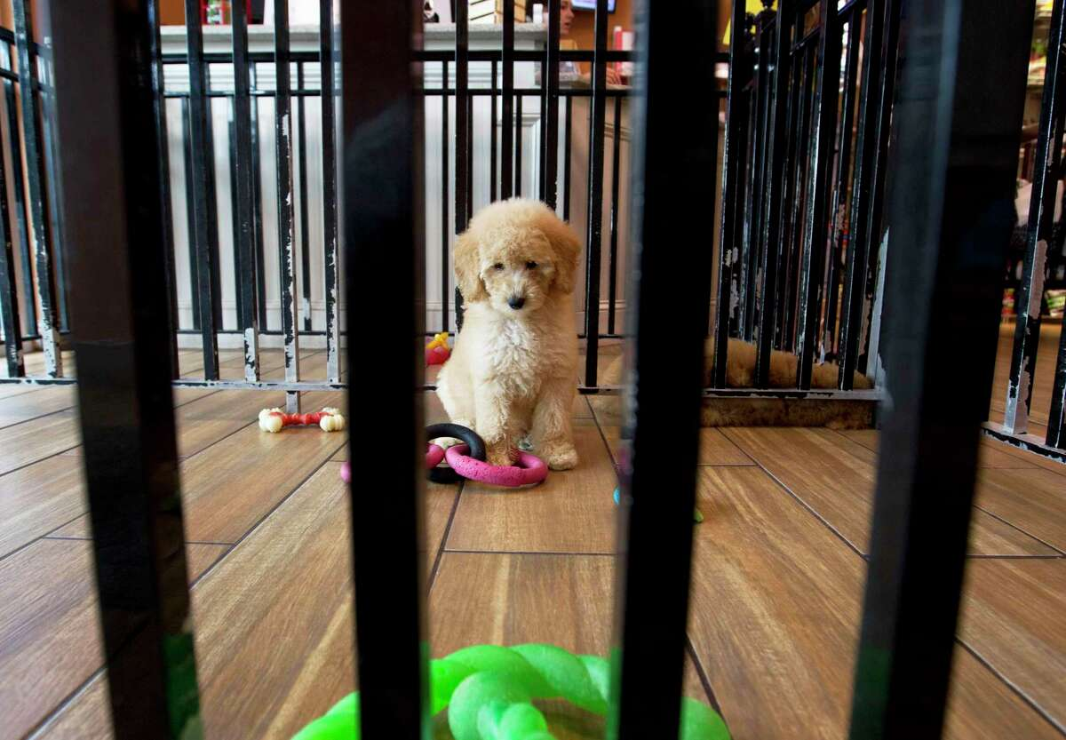 """A puppy plays with toys at a pet store in Columbia, Md., Monday, Aug. 26, 2019. Pet stores are suing to block a Maryland law that will bar them from selling commercially bred dogs and cats, a measure billed as a check against unlicensed and substandard """"puppy mills."""""""