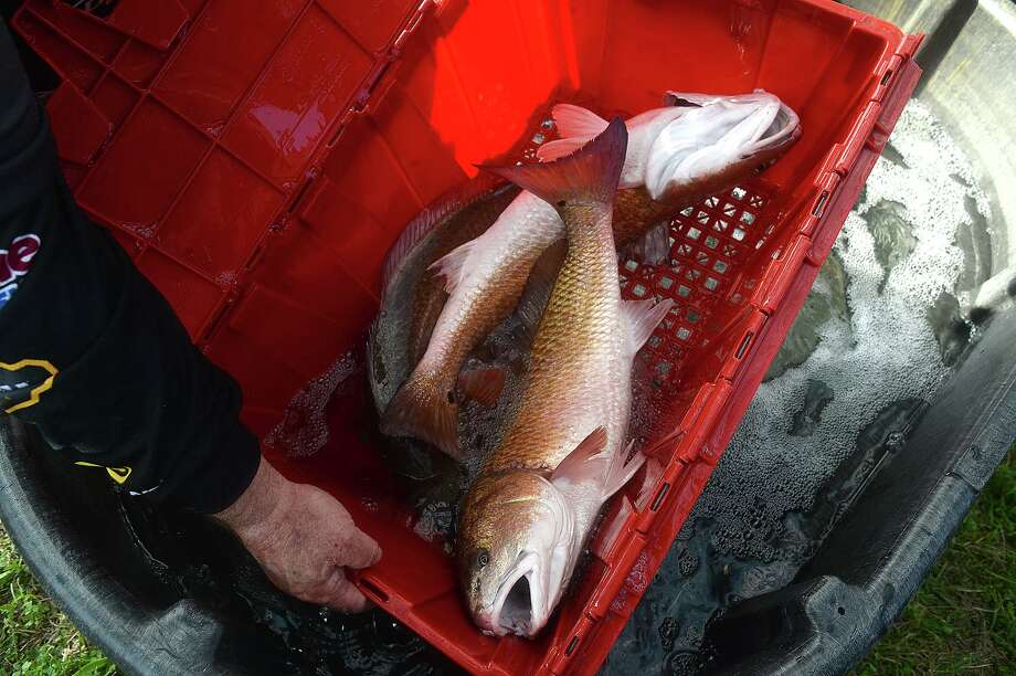 Redfish sit in their container during weigh-in on the opening day of the Elite Redfish Series Kick Off Classic fishing tournament Friday in Port Arthur. Weigh-ins throughout the weekend-long competition are taking place on the main stage of the Mardi Gras of Southeast Texas event. Photo taken Friday, February 24, 2017 Kim Brent/The Enterprise Photo: Kim Brent / Beaumont Enterprise