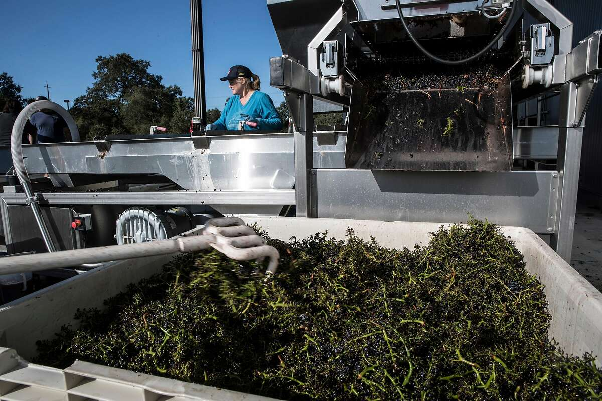 """Grape stems separated from the fruit will be composted and used on local farms during the grape harvest at Bucher Vineyards in Healdsburg, Calif., on Tuesday, September 10, 2019. Sonoma County is trying to get 100% of the county's vineyards """"certified sustainable."""" Bucher Vineyard was one of the most recent vineyards to get the certification. John Bucher, the owner, also has a certified organic dairy farm on the same property as his vineyard."""