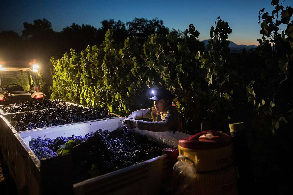 """Harvest workers removes leaves from fruit in larger containers during the grape harvest at Bucher Vineyards in Healdsburg, Calif., on Tuesday, September 10, 2019. Sonoma County is trying to get 100% of the county's vineyards """"certified sustainable."""" Bucher Vineyard was one of the most recent vineyards to get the certification. John Bucher, the owner, also has a certified organic dairy farm on the same property as his vineyard."""