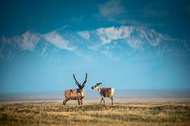 Caribou from the Porcupine herd walk through the Arctic National Wildlife Refuge in Alaska, June 22, 2019. The refuge is the largest wildlife sanctuary in the United States and is home to more diversity of life than almost anywhere in the Arctic. (Christopher Miller/The New York Times)