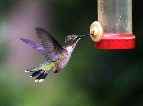 A hummingbird feeds from nectar.
