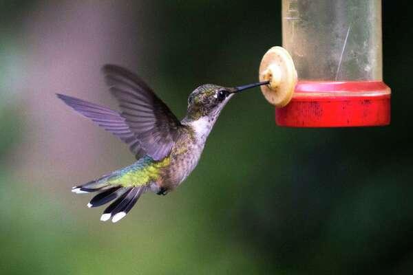 A hummingbird feeds.
