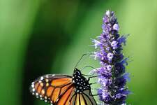 Butterflies will be traveling through San Antonio this fall.