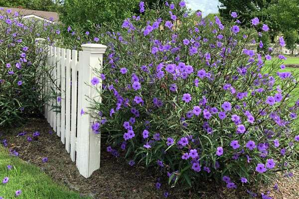 This is Mexican petunia, Ruellia simplex. It's a beautiful, strongly growing perennial that spreads freely by its rhizomes and also by its rampant distribution of seeds.