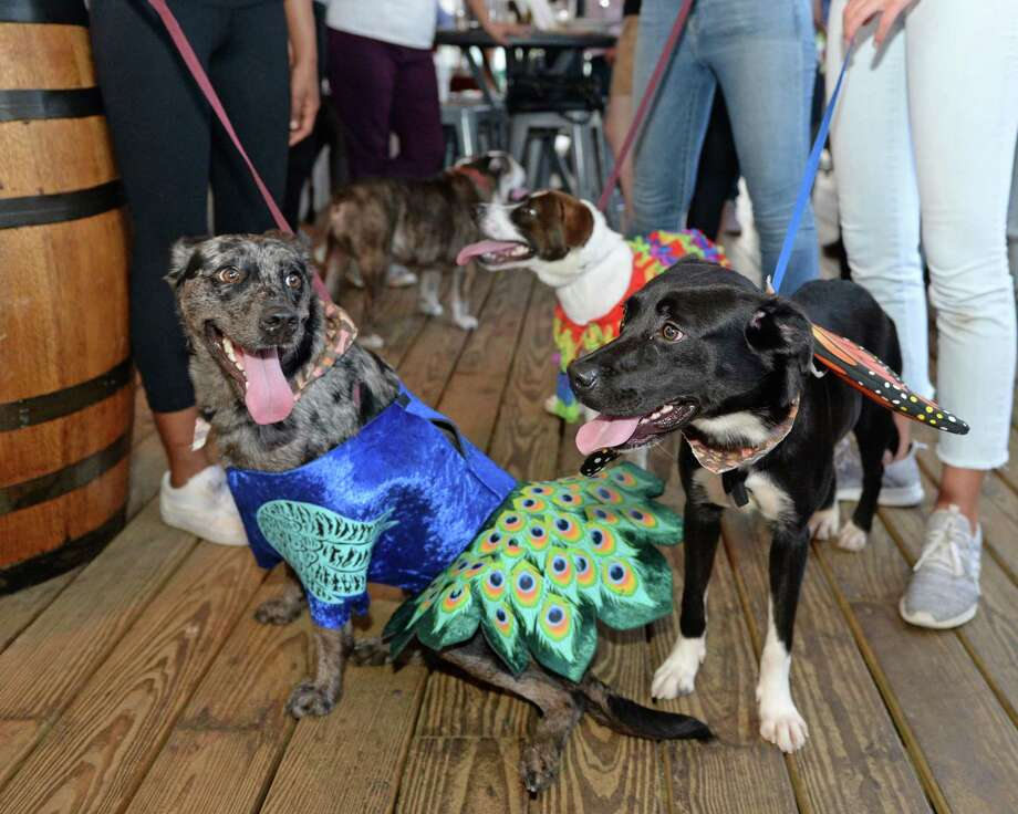 Rescue dogs wear opera costumes as Houston Grand Opera's Opening Night for Young Professionals partners with the Houston SPCA for a happy hour at Bungalow Heights in Houston, TX on Tuesday, September 10, 2019. Photo: Craig Moseley, Houston Chronicle / Staff Photographer / ©2019 Houston Chronicle