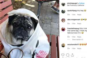 Otis, an Instagram celebrity pug who was found safe after being stolen from an SF apartment.