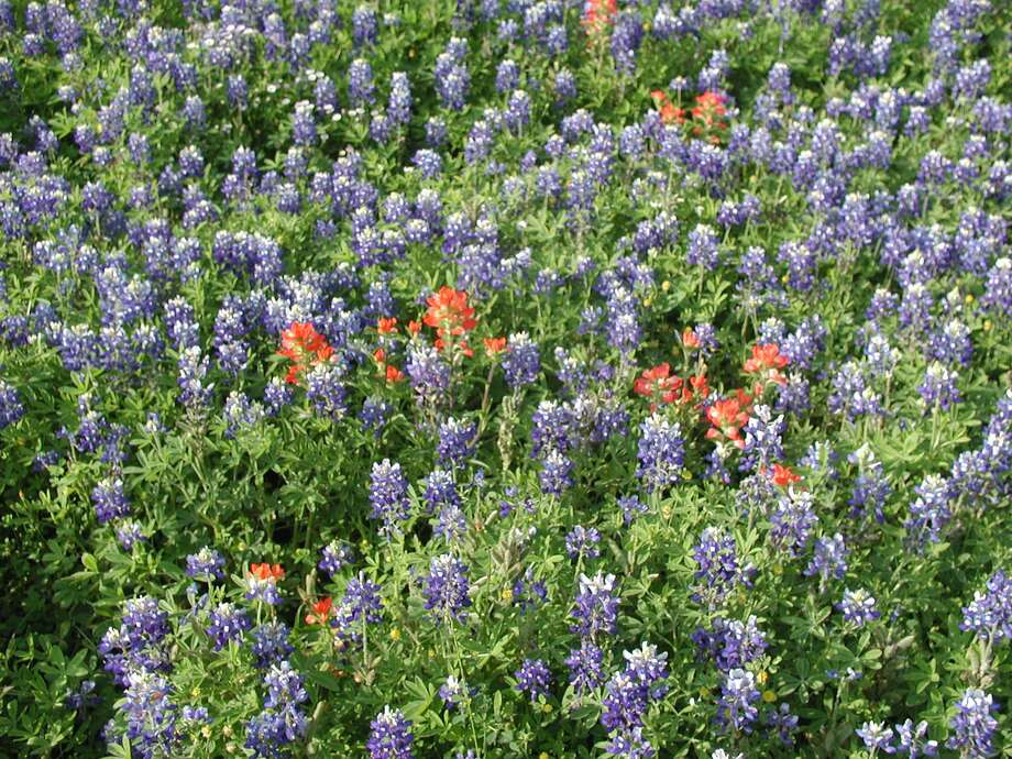 Bluebonnets and Indian paintbrush flowers are displayed. Bluebonnet planting time is coming sooner than you think and the success will depend on timing, planting method and proper care. Photo: Photo By Tom Leroy