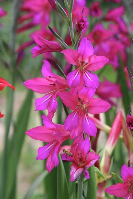 Byzantine gladiolus (Gladiolus byzantinus) will multiply rapidly in the landscape.