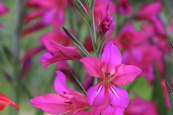 Byzantine gladiolus (Gladiolus byzantinus) will multiply rapidly in the landscape.