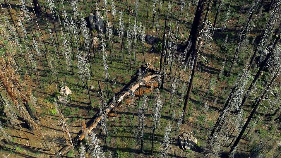 Giant sequoias - long survivors of the forest - succumbing to climate-driven wildfires
