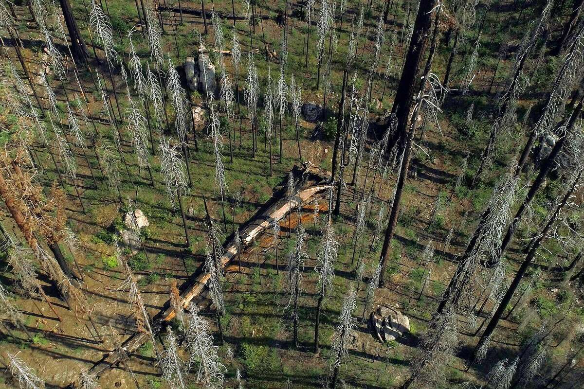 A fallen giant sequoia lies amid other trees, including another one damaged in the Pier Fire of 2017 in a small grove in the Sequoia National Forest near Springville, Calif., on Monday, August 26, 2019. Save the Redwoods League researchers are finding that the once-resilient giant sequoias are succumbing to climate-driven wildfires at numbers greater than previously seen.