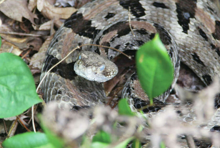 """Chris,"" a mature timber rattlesnake inhabiting forested land at Principia College, reacts as college personnel studying the snake's movements check up on him. Photo: Scott Cousins 