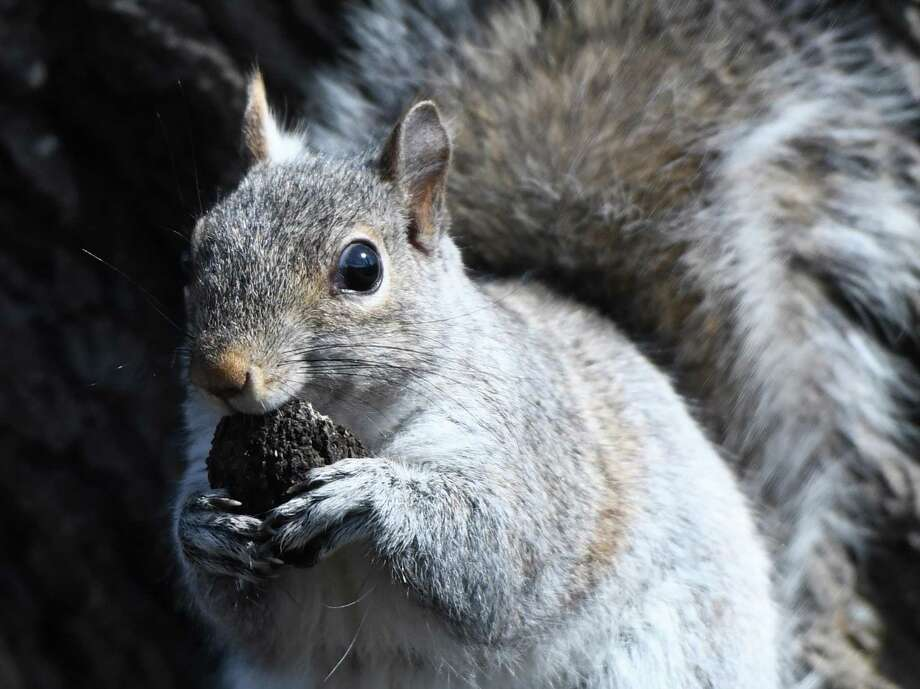 A Eastern gray squirrel nibbles a nut while perched on a tree in the Cos Cob section of Greenwich in the spring this year. Photo: Tyler Sizemore / Hearst Connecticut Media / Greenwich Time