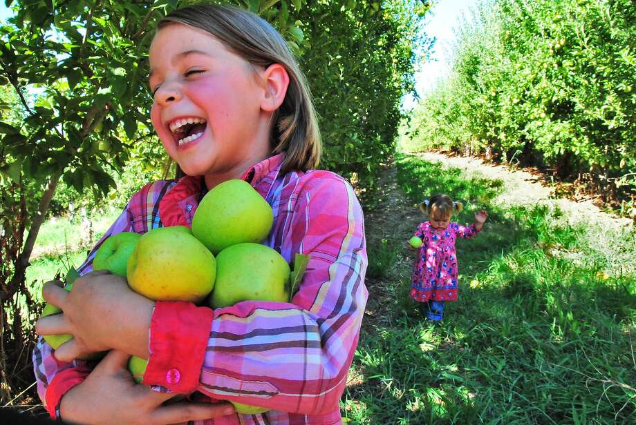 Click through the slideshow to find orchards where you can pick-your-own apples in the Bay Area and Northern California. Photo: John Flinn, Special To The Chronicle