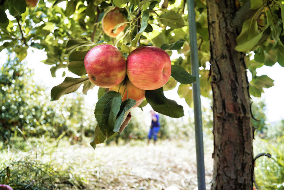 Apples ready to be picked are seen on one of the trees at Indian Ladder Farms on Sunday, Sept. 15, 2019, in Altamont, N.Y.   (Paul Buckowski/Times Union) Photo: Paul Buckowski, Albany Times Union / (Paul Buckowski/Times Union)