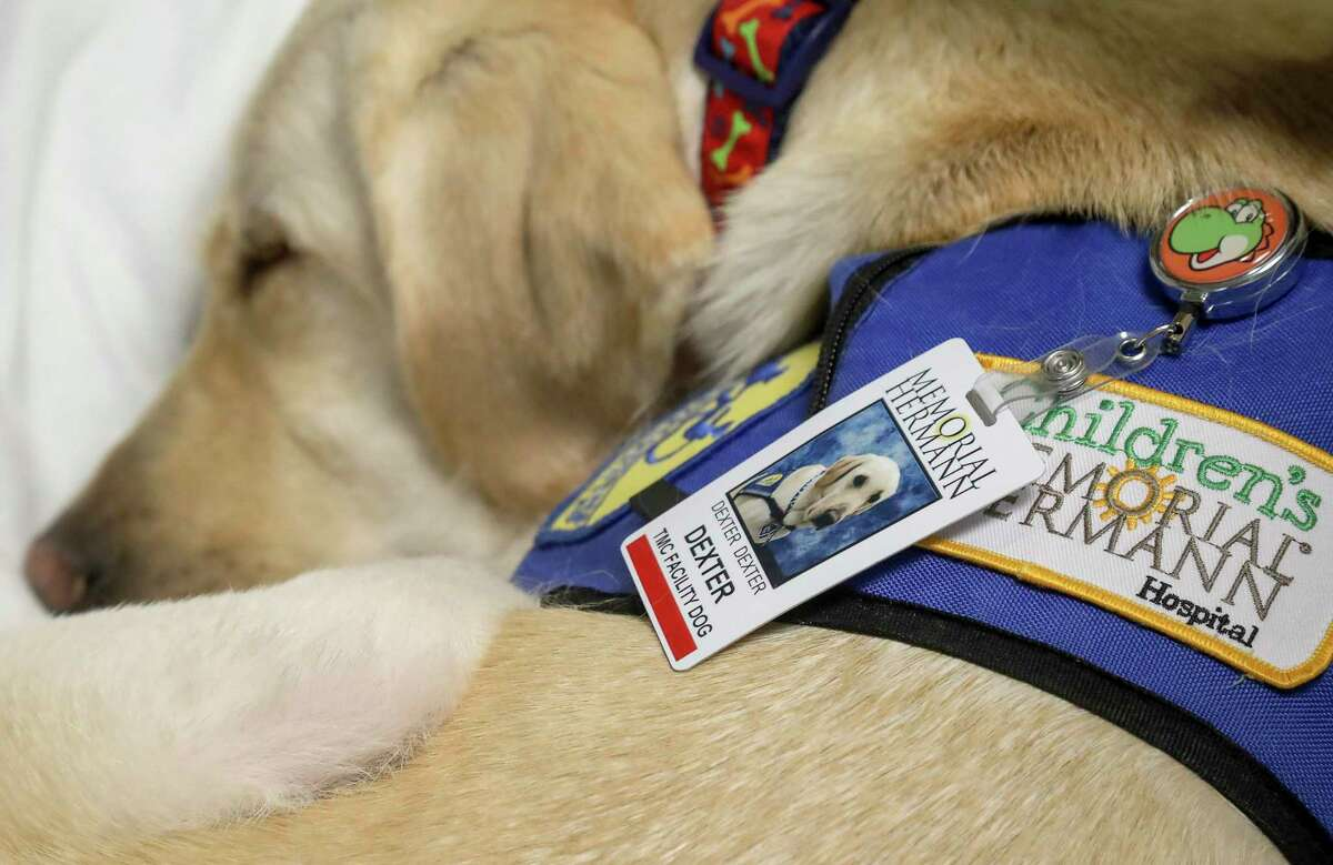 Dexter, a facility dog at Children's Memorial Hermann Hospital, naps while visiting a patient.