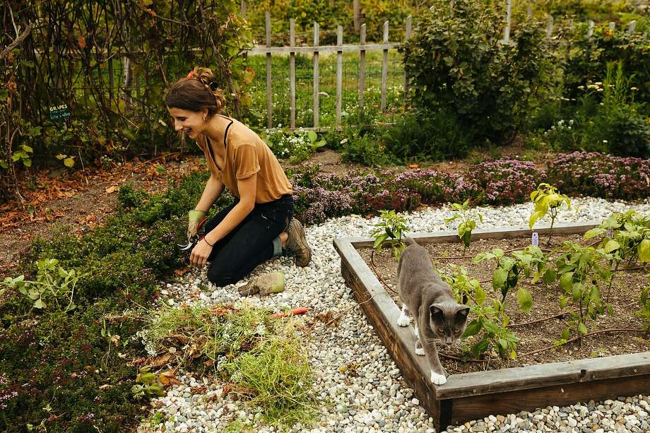 Natascha Paxton cleans up one of the gardens with the farm cat, Cazadora, at the Earthbound Farm's Farm Stand & Organic Cafe in Carmel. Not everyone welcomes cats into their garden. Photo: Mason Trinca / Special To The Chronicle 2017