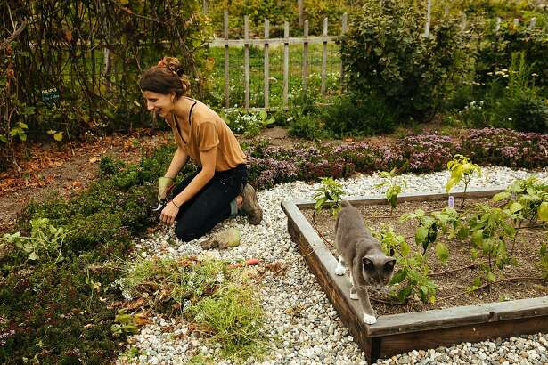 Natascha Paxton cleans up one of the gardens in the company of the farm cat, Cazadora, at the Earthbound Farm's Farm Stand & Organic Cafe in Carmel, Calif. Wednesday, August 23, 2017.