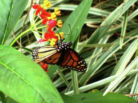 A monarch butterfly feasts on the Mexican milkweed.