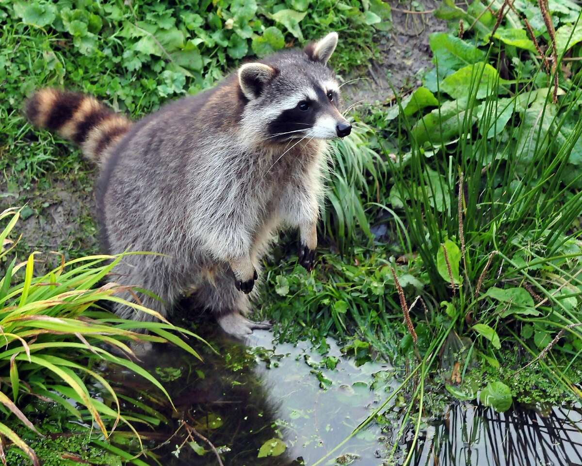 A raccoon in the garden