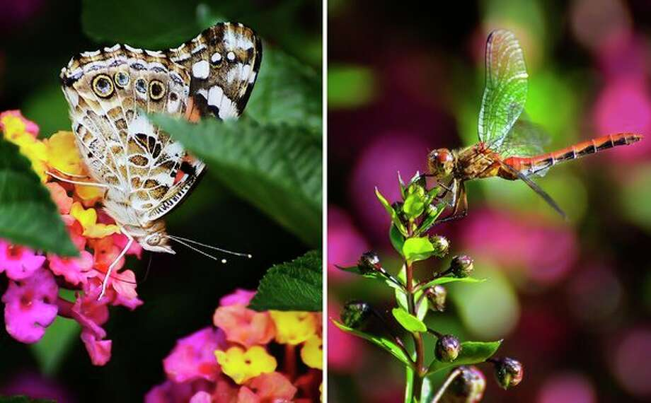 A Painted Lady butterfly, left, and an Autumn Meadowhawk dragonfly, right, pollinate plants at Dow Gardens on Monday, Sept. 2. (Photos provided/Cheryl McMahan)