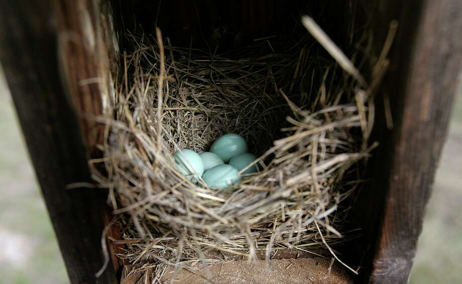 Five Eastern Bluebird eggs rest in a birdhouse set up by Jim Garriott on his ranch in Texas. Jerry Walls said he has noticed that the third clutches of bluebird eggs in his nest boxes seem to be in jeopardy due to the recent extensive heat wave. Photo: Bob Owen, STAFF / SAN ANTONIO EXPRESS-NEWS / © San Antonio Express-News