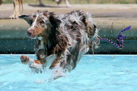 """Fawkes, a 10-month-old Australian Shepherd, leaps into the pool during the City of Schertz's third annual """"Paws in the Pool"""" at the Pickrell Park pool on Saturday, Sept. 7, 2019"""