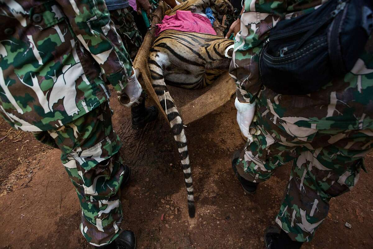 FILE -- Officers from Thailand's Department of National Parks, Wildlife and Plant Conservation carry a sedated tiger's body on a stretcher during a government-ordered removal of well over a hundred of the animals from the Tiger Temple in Kanchanaburi, Thailand, June 3, 2016. Eighty-six tigers that were seized three years ago from Thailand's notorious Tiger Temple over concerns that they were being mistreated have died in the government's care, Thai officials said on Sept. 16, 2019. (Amanda Mustard/The New York Times)