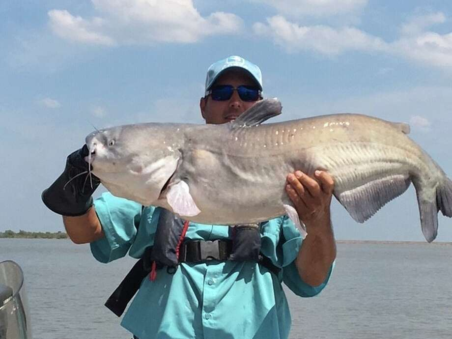 A 36-pound blue catfish was caught and released at a lake near Wichita Falls during a fisheries survey earlier this week. Photo: Texas Parks And Wildlife