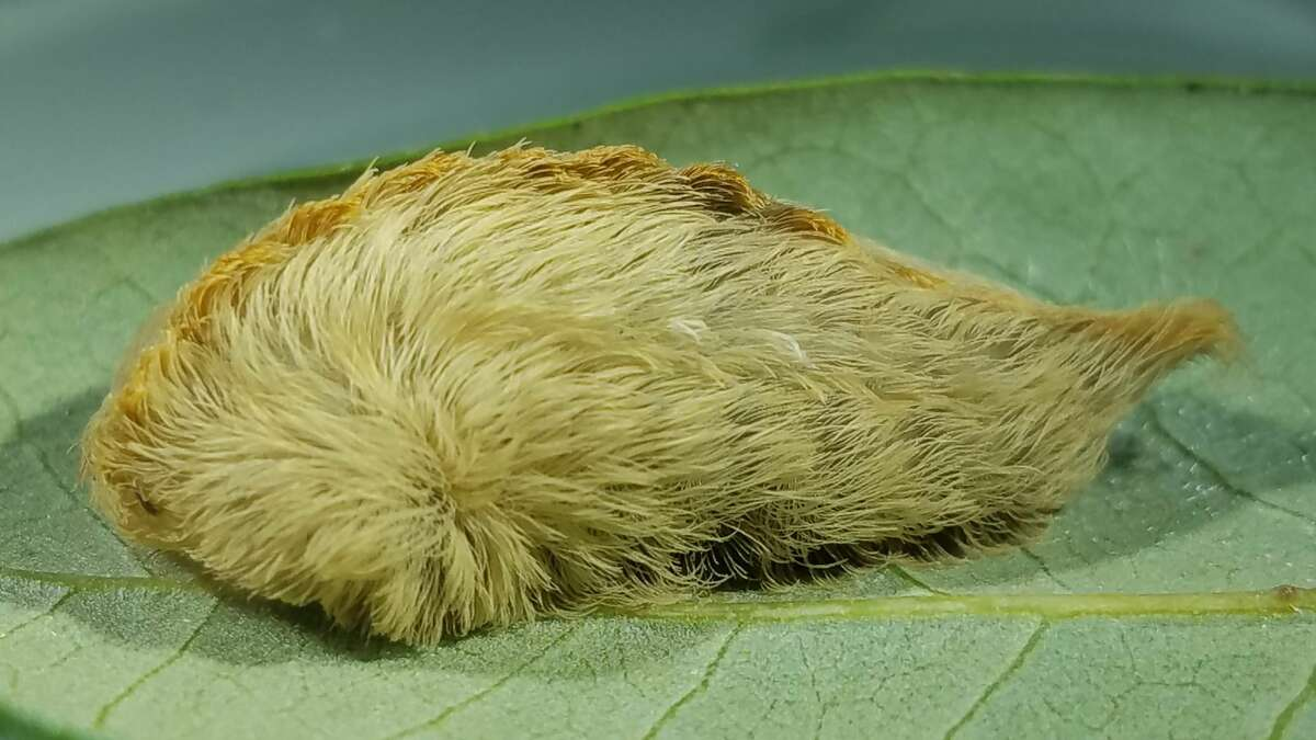 Despite their harmless-looking appearance, asp caterpillars, or Megalopyge opercularis, are considered North America's most venomous caterpillar species. Common in the Houston area, the fuzzy-looking asps are covered with hundreds of spiky needles that upon touching can cause severe allergic reactions.