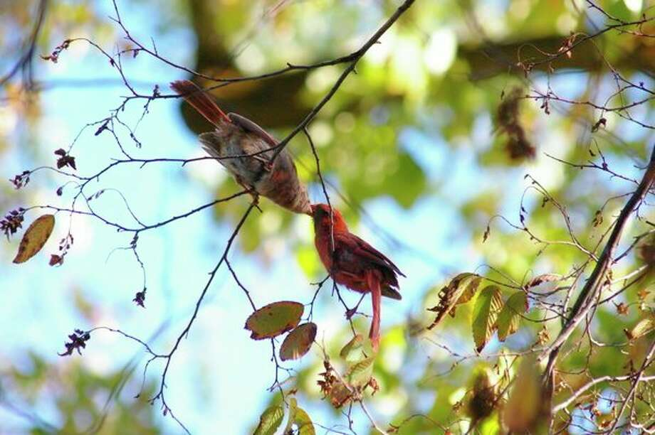 A male cardinal gathers some berries for a female, which she retrieves from his beak, in a tree at Whiting Forest on Sept. 14. (Niky House/for the Daily News)