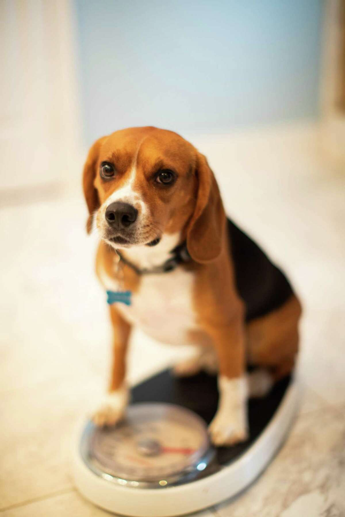 Is your dog fat? Brody the beagle weighs in.