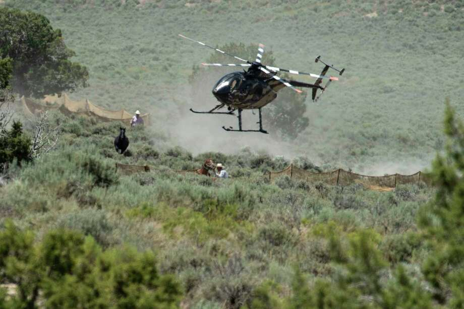 A wild horse is herded using a helicopter towards the Bureau of Land Management trap. Photo: Washington Post Photo By Carolyn Van Houten / The Washington Post