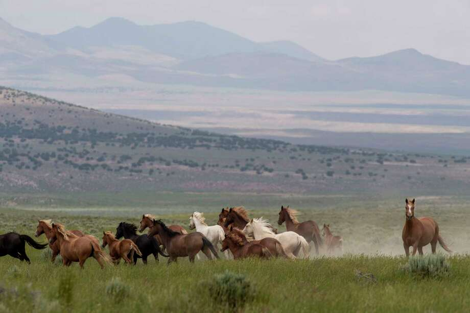 A herd of wild horses canters in the Triple B Complex, which is managed by the Bureau of Land Management, near Ely, Nevada. Photo: Washington Post Photo By Carolyn Van Houten / The Washington Post