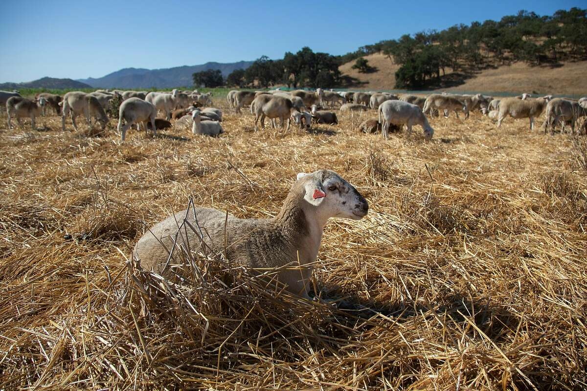 Sheep graze in a field at Paicines Ranch in Paicines, California on Tuesday, 9/3, 2019. California farmers are trying to adapt to climate change with more efficient, carbon neutral farming practices, including a program developed by Kelly Mulville at Paicines Ranch in which livestock are used to regenerate the soil for crops and range land.