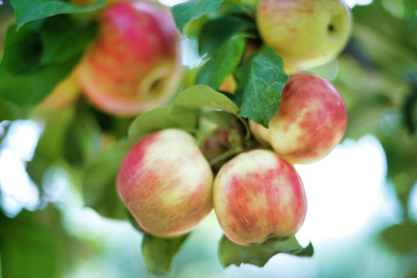 Apples ready to be picked are seen on one of the trees at Indian Ladder Farms on Sunday, Sept. 15, 2019, in Altamont, N.Y. (Paul Buckowski/Times Union)