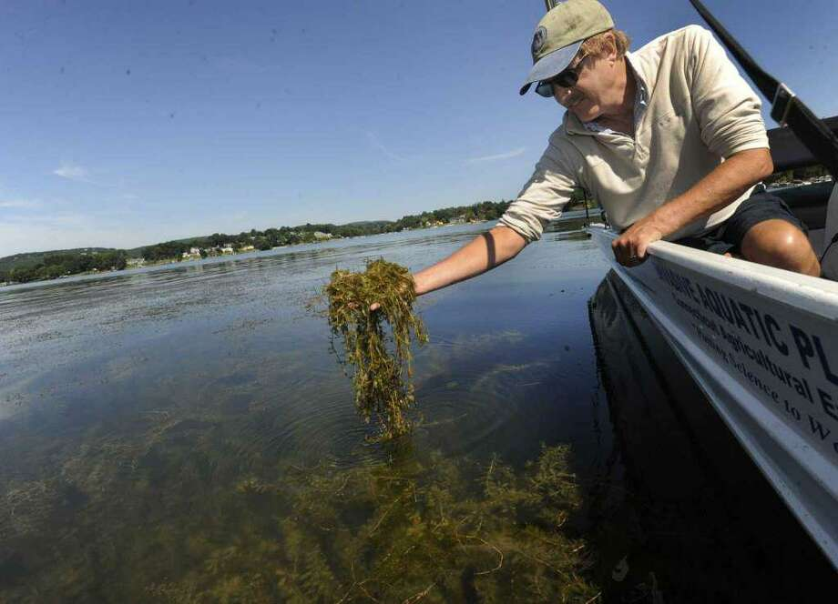 Greg Bugbee, an associate scientist with the Connecticut Agricultural Experiment Station, lifts up a handful of Eurasian Watermilfoil from Candlewood Lake, Tuesday, August 9, 2016. Photo: Carol Kaliff