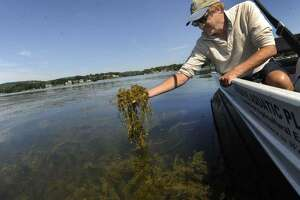 Greg Bugbee, an associate scientist with the Connecticut Agricultural Experiment Station, lifts up a handful of Eurasian Watermilfoil from Candlewood Lake, Tuesday, August 9, 2016.