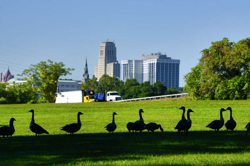 Geese feed on the grass along the Albany bike path near Interstate 787 on Thursday, Sept. 19, 2019, in Albany, N.Y. (Paul Buckowski/Times Union)