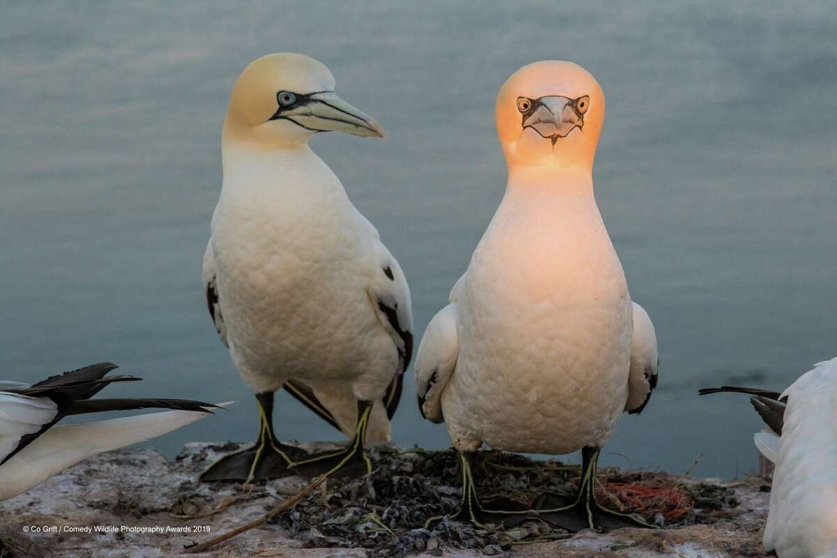 You can unplug now. You're fully charged:Photo by Co Grift, Netherlands. Gannet, Helgoland island, Germany.