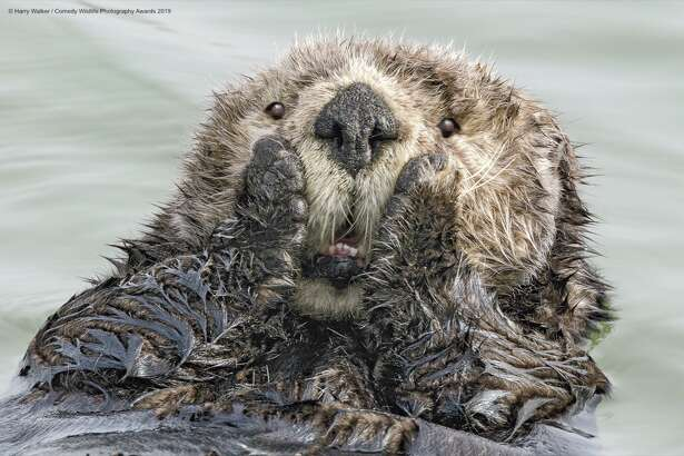 Oh, nooo! San Francisco's homeless people are dumping their needles in the ocean! The Comedy Wildlife Photography Awards 2019 Harry Walker Anchorage United States Phone: 9072421795 Email: akmedia@ak.net Title: Oh My! Description: Unlike most other marine mammals, sea otters have no blubber and rely on exceptionally thick fur to keep warm. As the ability of the fur to repel water depends on utmost cleanliness, sea otters spend much of their time (while they are not sleeping or eating) grooming, offering photographers an unlimited number of anthropomorphic opportunities. Animal: Sea otter (Enhydra lutris) Location of shot: Small Boat Harbor, Seward Alaska