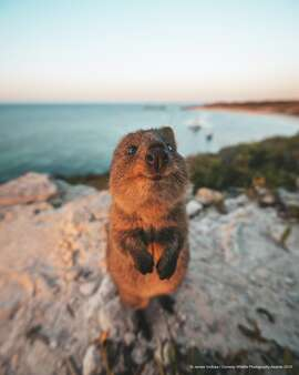 I will gladly pay you Tuesday for a hamburger today:  The Comedy Wildlife Photography Awards 2019 James Vodicka Sydney Australia Phone: 0435624907 Email: info@jamesvodicka.com Title: Excuse Me! Description: An inquisitive wild quokka interrupts my sunset shoot for a brief hello and welcome to Rottnest Island, the only place in the world that the Australian mammals live natively. Animal: Quokka Location of shot: Rottnest Island, Australia